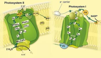 Photosystem I and II antibodies